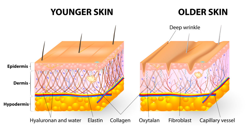 Anatomical differences between young and older skin